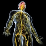 15181773-side-view-of-male-nervous-system-isolated-on-black-background